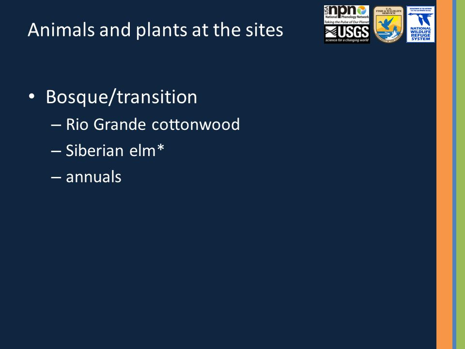 Animals and plants at the sites Bosque/transition – Rio Grande cottonwood – Siberian elm* – annuals