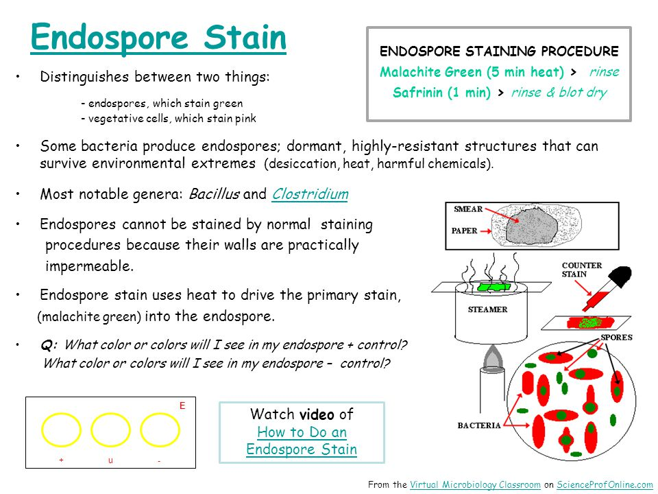 Endospore Stain Distinguishes between two things: - endospores, which stain green - vegetative cells, which stain pink Some bacteria produce endospores; dormant, highly-resistant structures that can survive environmental extremes (desiccation, heat, harmful chemicals).