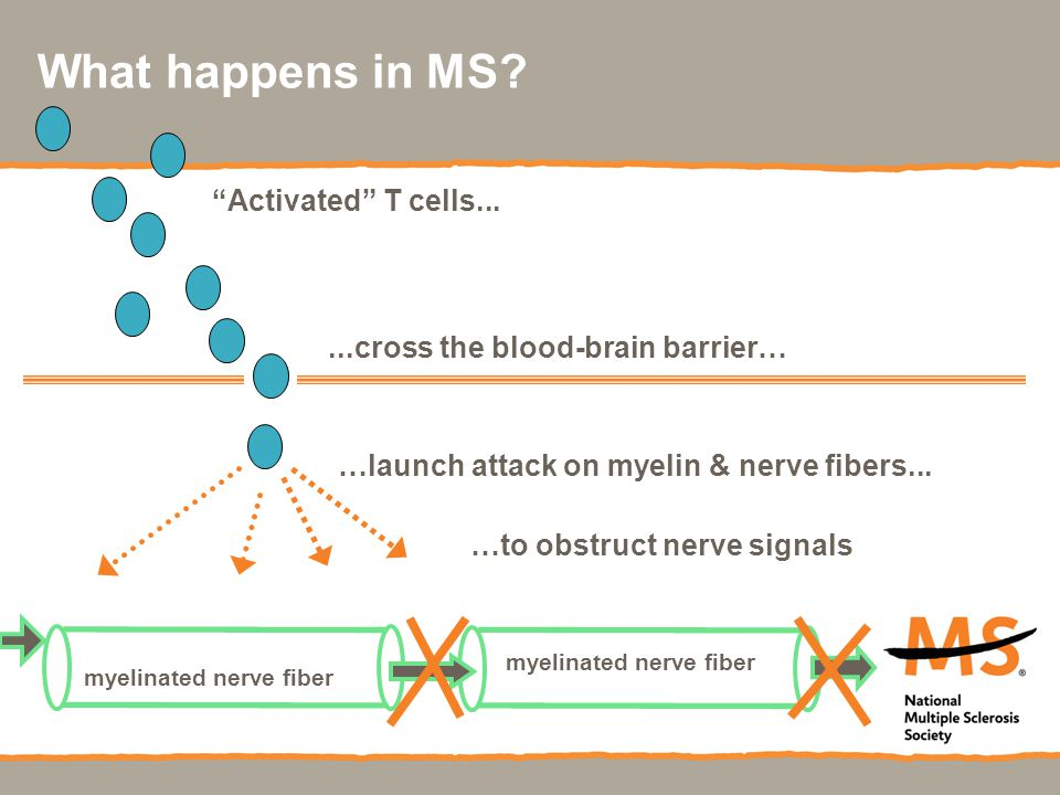 What happens in MS?...cross the blood-brain barrier… …launch attack on myelin & nerve fibers...