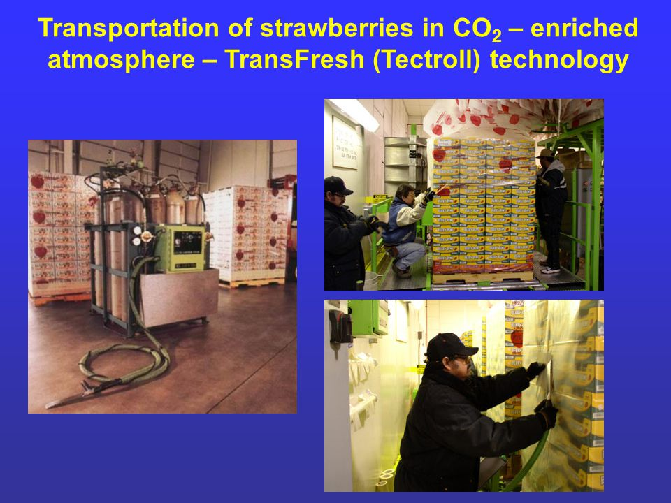 Transportation of strawberries in CO 2 – enriched atmosphere – TransFresh (Tectroll) technology