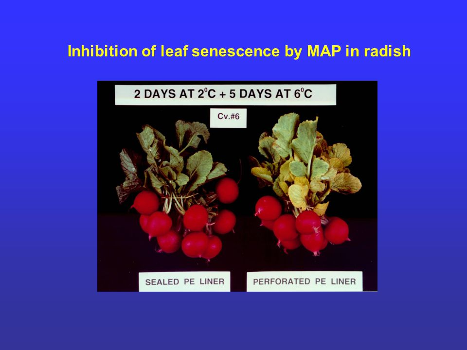 Inhibition of leaf senescence by MAP in radish