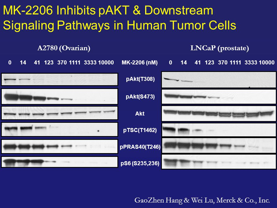 MK-2206 Compound Profile – Preclinical Potent anti-proliferative activity against multiple tumor cell lines (breast, ovarian, prostate, lung & gastric) –IC 50 is dependent on PI3K pathway activation events (PIK3CA mutation/amplification, PTEN loss) and wild type Ras/Raf in some cases Single agent anti-tumor activity in xenograft models Synergistic or additive with chemotherapeutic and targeted agents in vitro and in vivo 4