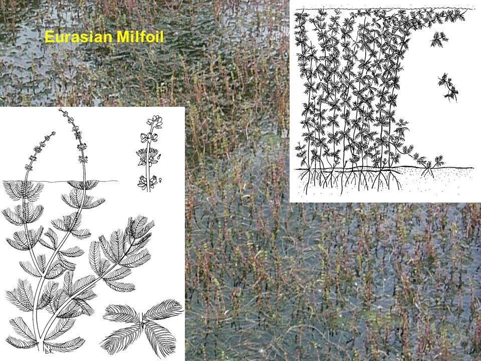 Eurasian Milfoil