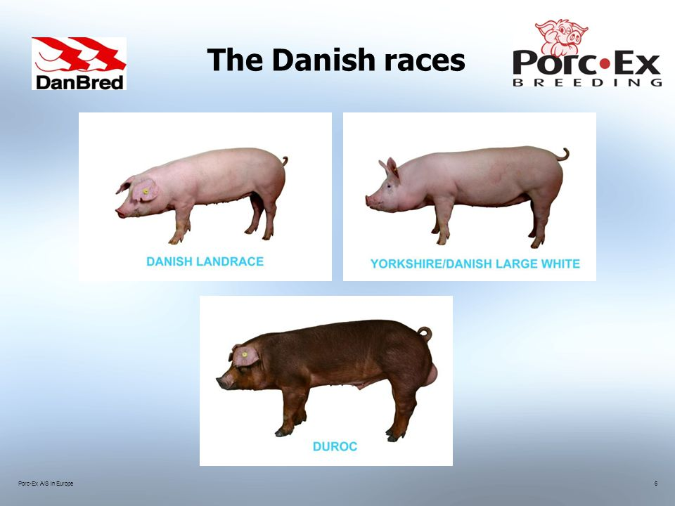 Porc-Ex A/S in Europe6 The Danish races