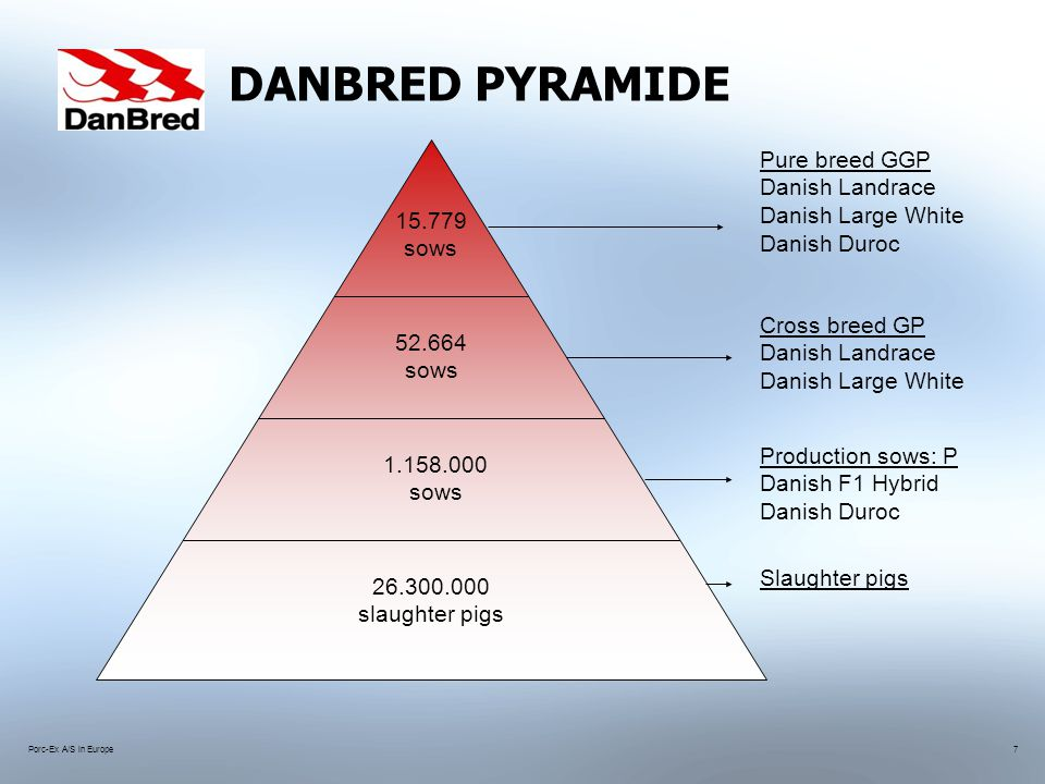 Porc-Ex A/S in Europe7 DANBRED PYRAMIDE 15.779 sows 52.664 sows 1.158.000 sows 26.300.000 slaughter pigs Pure breed GGP Danish Landrace Danish Large White Danish Duroc Cross breed GP Danish Landrace Danish Large White Production sows: P Danish F1 Hybrid Danish Duroc Slaughter pigs
