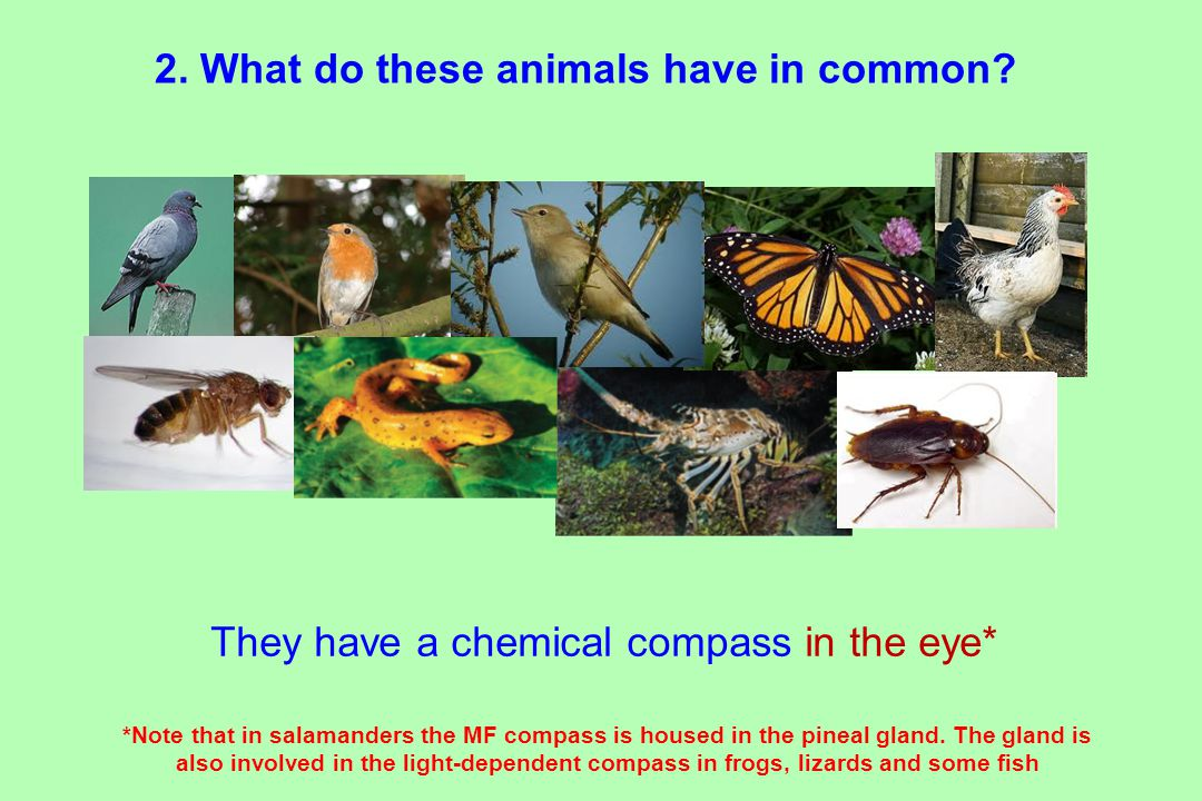 They have a chemical compass in the eye* *Note that in salamanders the MF compass is housed in the pineal gland.