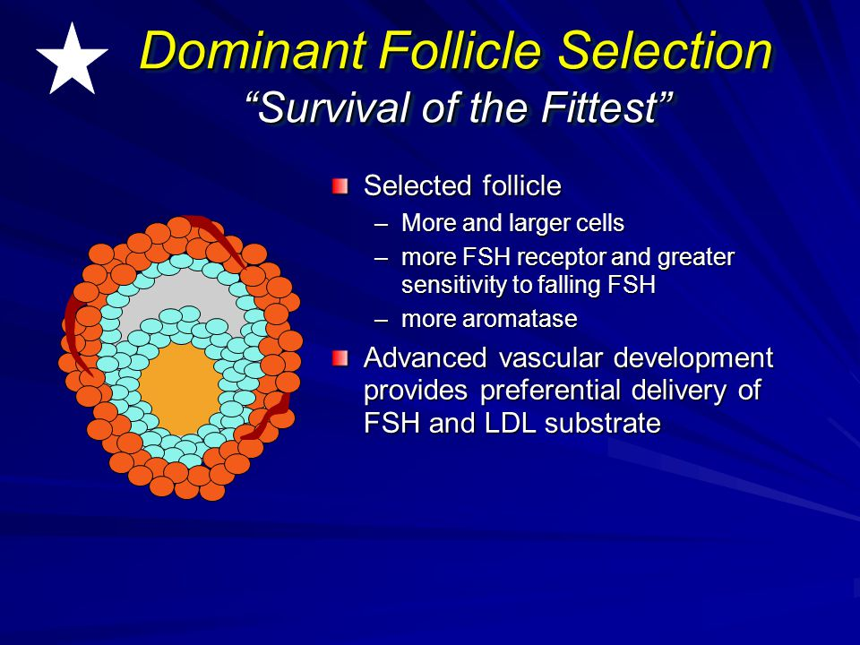 """Dominant Follicle Selection """"Survival of the Fittest"""" Selected follicle –More and larger cells –more FSH receptor and greater sensitivity to falling F"""