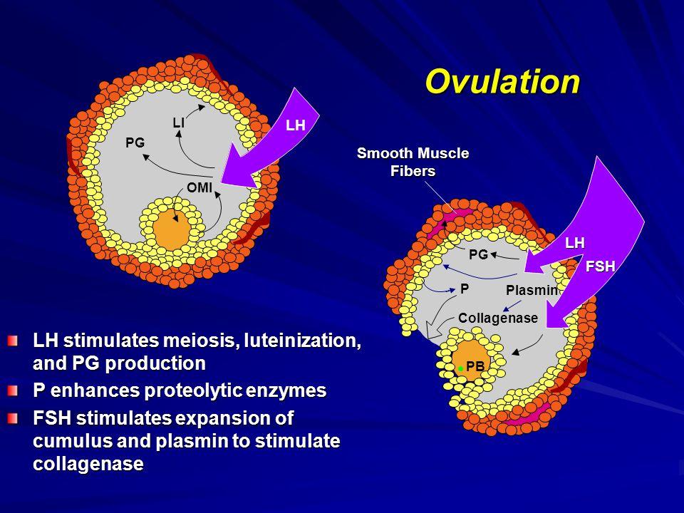 LH FSH P Plasmin Collagenase PG PB Smooth Muscle Fibers Ovulation OMI PG LI LH LH stimulates meiosis, luteinization, and PG production P enhances prot