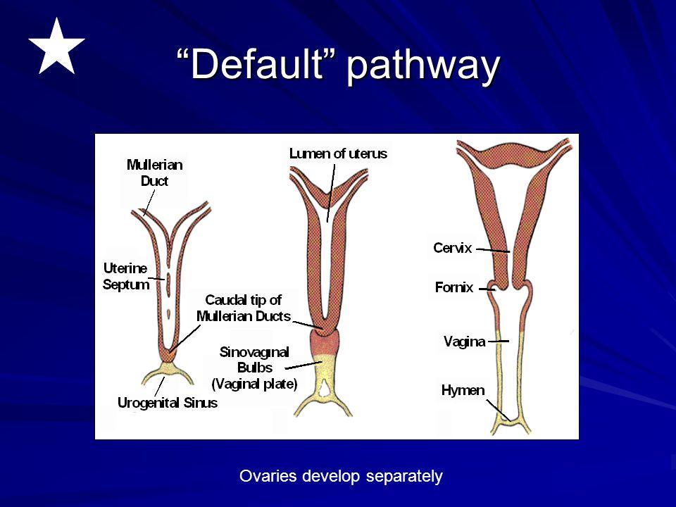 """Default"" pathway Ovaries develop separately"