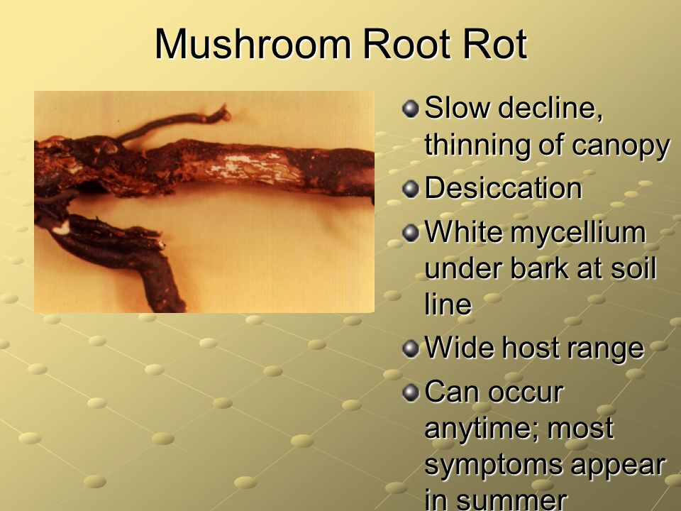 Mushroom Root Rot Slow decline, thinning of canopy Desiccation White mycellium under bark at soil line Wide host range Can occur anytime; most symptoms appear in summer
