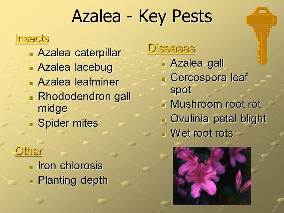 Azalea - Key Pests Insects Azalea caterpillar Azalea caterpillar Azalea lacebug Azalea lacebug Azalea leafminer Azalea leafminer Rhododendron gall midge Rhododendron gall midge Spider mites Spider mitesOther Iron chlorosis Iron chlorosis Planting depth Planting depth Diseases Azalea gall Cercospora leaf spot Mushroom root rot Ovulinia petal blight Wet root rots