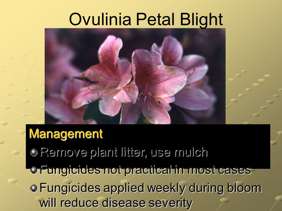 Management Remove plant litter, use mulch Fungicides not practical in most cases Fungicides applied weekly during bloom will reduce disease severity Ovulinia Petal Blight