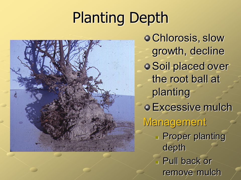 Planting Depth Chlorosis, slow growth, decline Soil placed over the root ball at planting Excessive mulch Management Proper planting depth Proper planting depth Pull back or remove mulch Pull back or remove mulch