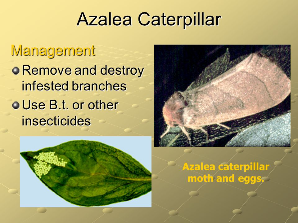 Azalea Caterpillar Management Remove and destroy infested branches Use B.t.