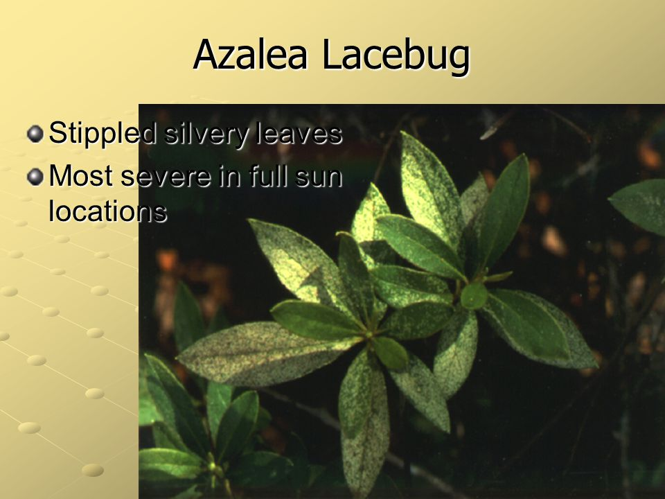 Azalea Lacebug Stippled silvery leaves Most severe in full sun locations