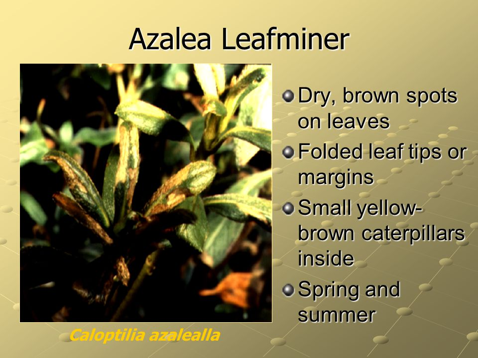Azalea Leafminer Dry, brown spots on leaves Folded leaf tips or margins Small yellow- brown caterpillars inside Spring and summer Caloptilia azalealla