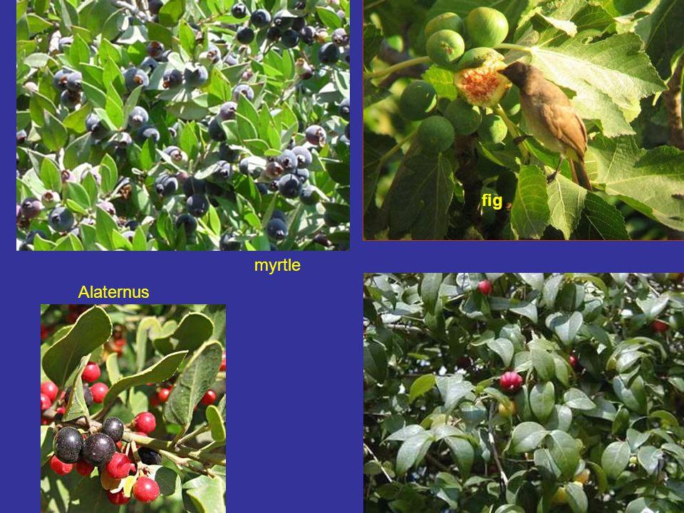fig myrtle Alaternus