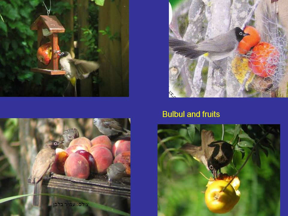 צילם : עמיר בלבן Bulbul and fruits