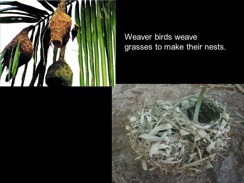 Weaver birds weave grasses to make their nests.