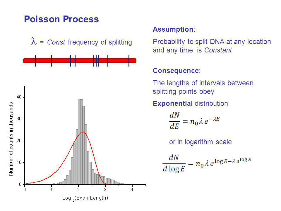 Assumption: Probability to split DNA at any location and any time is Constant or in logarithm scale Consequence: The lengths of intervals between spli