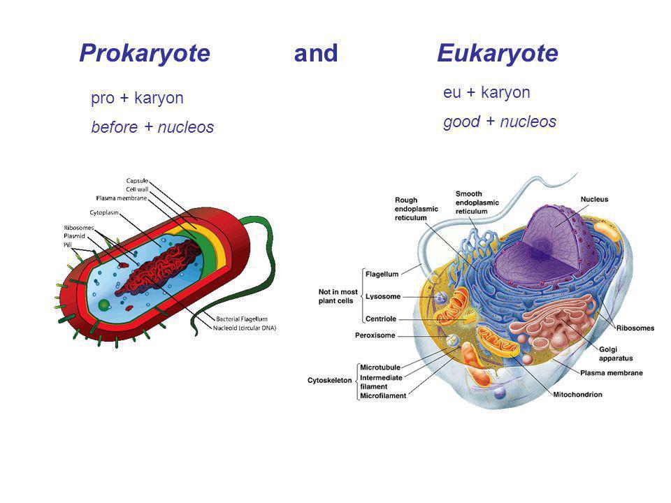 Prokaryote and Eukaryote pro + karyon before + nucleos eu + karyon good + nucleos