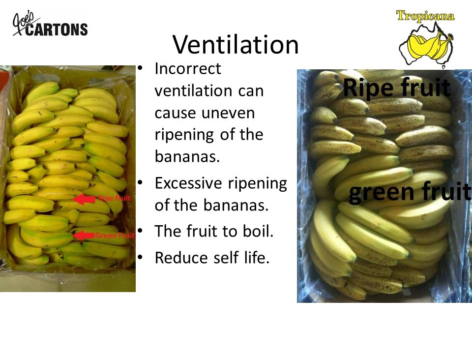Ventilation Incorrect ventilation can cause uneven ripening of the bananas.