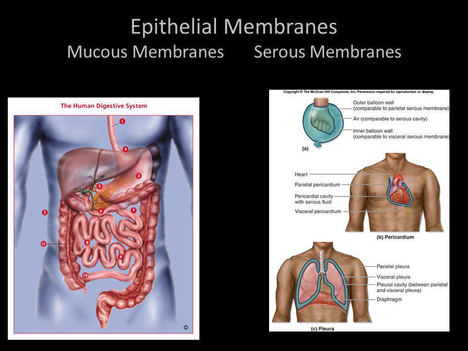 Epithelial Membranes Mucous Membranes Serous Membranes