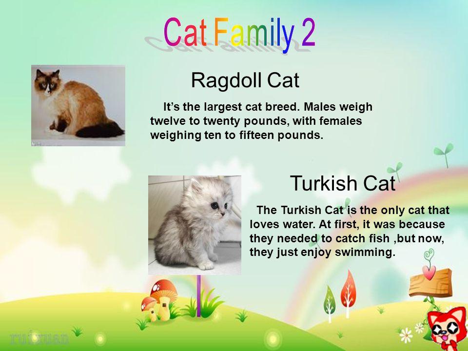 Ragdoll Cat It's the largest cat breed.
