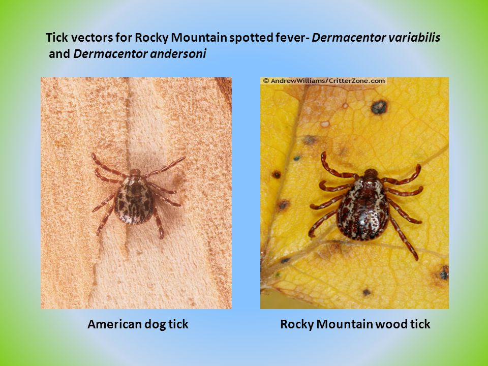 Tick vectors for Rocky Mountain spotted fever- Dermacentor variabilis and Dermacentor andersoni American dog tick Rocky Mountain wood tick
