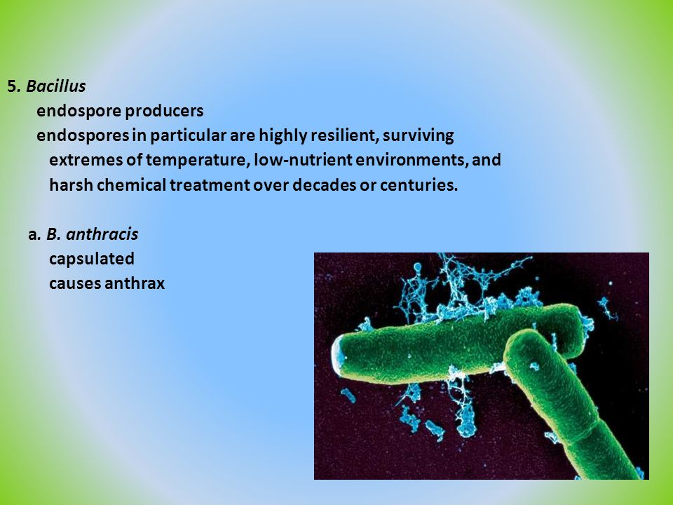 5. Bacillus endospore producers endospores in particular are highly resilient, surviving extremes of temperature, low-nutrient environments, and harsh