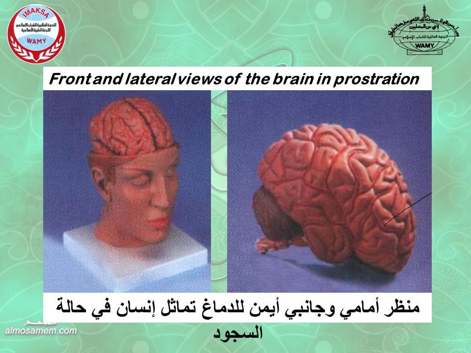 Front and lateral views of the brain in prostration منظر أمامي وجانبي أيمن للدماغ تماثل إنسان في حالة السجود