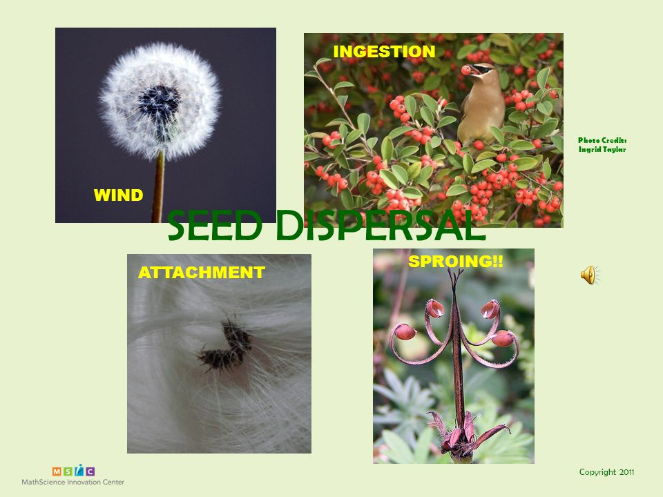 Copyright 2011 Photo Credit: Ingrid Taylar WIND INGESTION ATTACHMENT SPROING!! SEED DISPERSAL