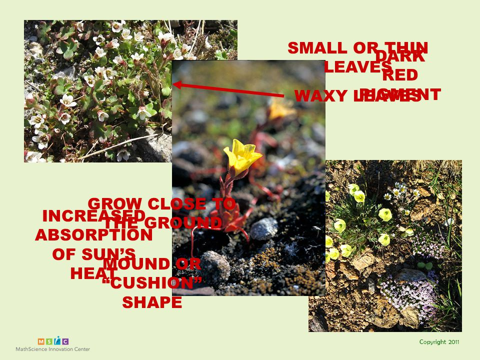 Copyright 2011 TUNDRA GROW CLOSE TO THE GROUND SMALL OR THIN LEAVES MOUND OR CUSHION SHAPE WAXY LEAVES DARK RED PIGMENT INCREASED ABSORPTION OF SUN'S HEAT