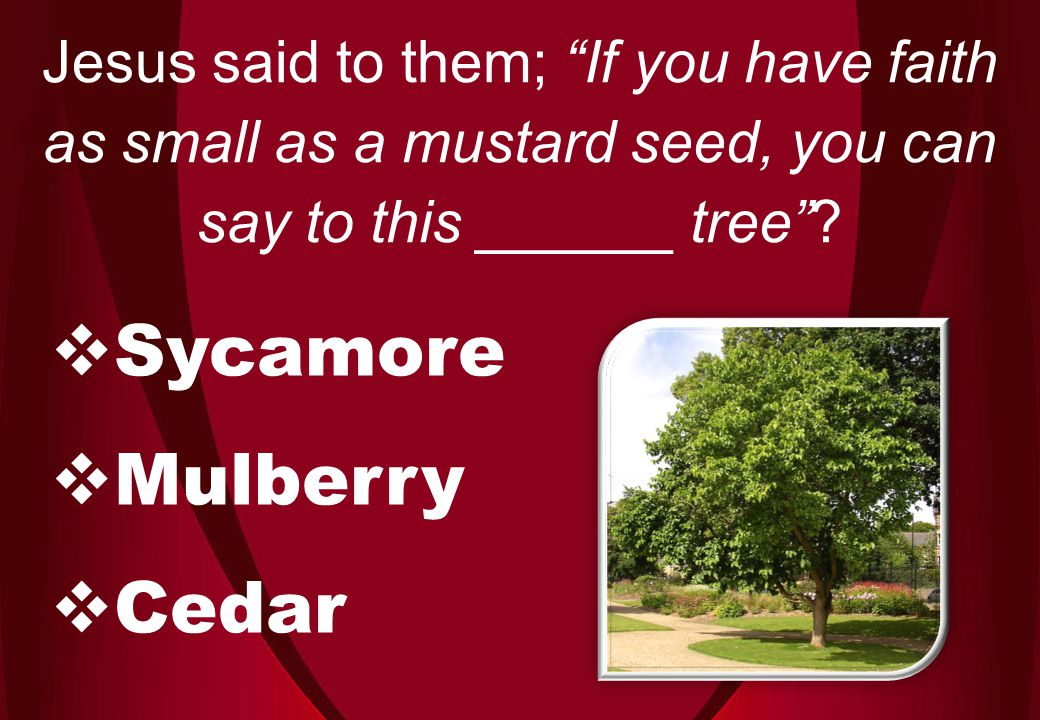  Sycamore  Mulberry  Cedar Jesus said to them; If you have faith as small as a mustard seed, you can say to this ______ tree ?