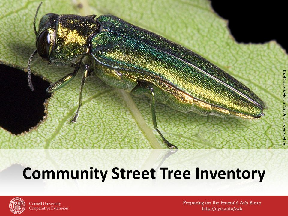 Preparing for the Emerald Ash Borer http://nyis.info/eab Community Street Tree Inventory David Cappaert, Michigan State University, bugwood.org