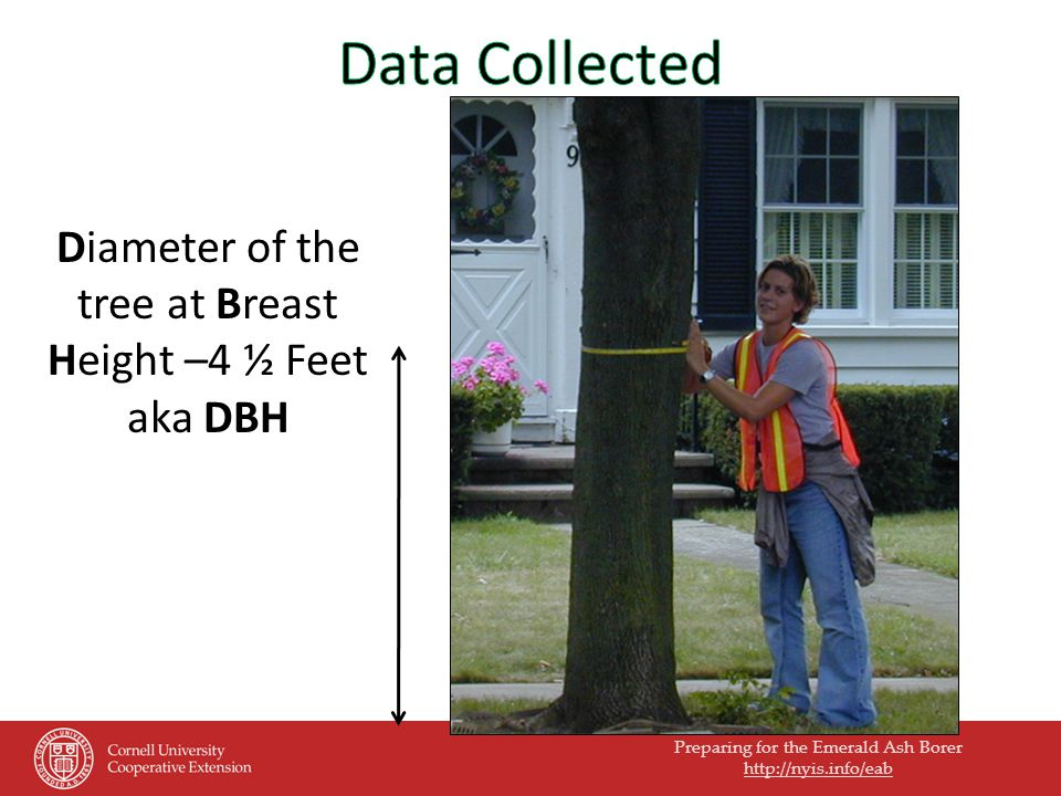 Preparing for the Emerald Ash Borer   Diameter of the tree at Breast Height –4 ½ Feet aka DBH