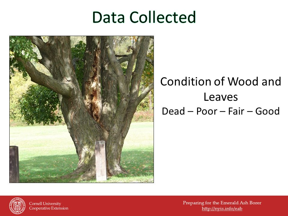 Preparing for the Emerald Ash Borer http://nyis.info/eab Condition of Wood and Leaves Dead – Poor – Fair – Good