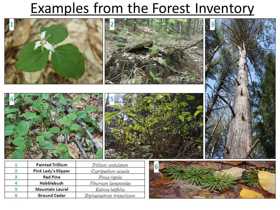 Examples from the Forest Inventory 12 5 3 4 1Painted Trillium Trillium undulatum 2Pink Lady's Slipper Cypripedium acaule 3Red Pine Pinus rigida 4Hobbl