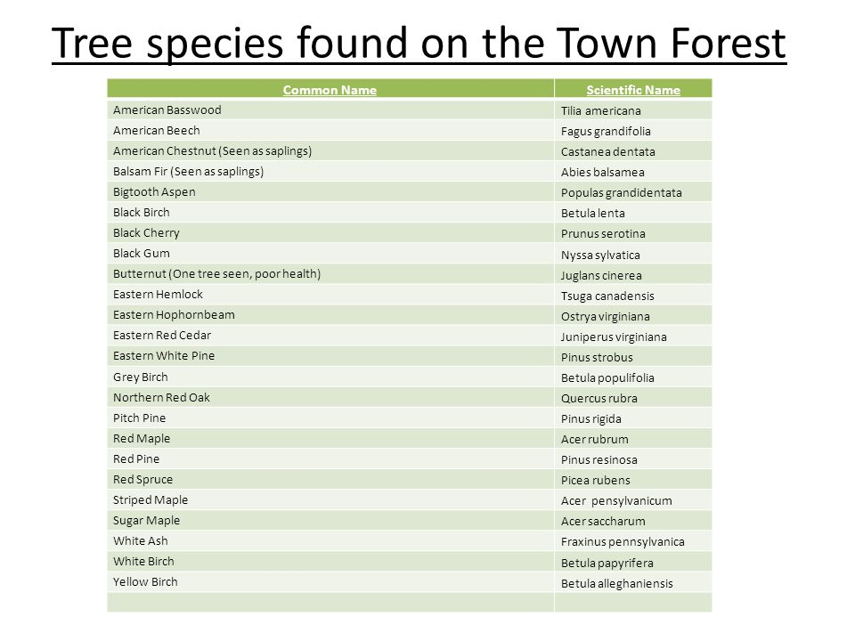 Tree species found on the Town Forest Common NameScientific Name American Basswood Tilia americana American Beech Fagus grandifolia American Chestnut (Seen as saplings) Castanea dentata Balsam Fir (Seen as saplings) Abies balsamea Bigtooth Aspen Populas grandidentata Black Birch Betula lenta Black Cherry Prunus serotina Black Gum Nyssa sylvatica Butternut (One tree seen, poor health) Juglans cinerea Eastern Hemlock Tsuga canadensis Eastern Hophornbeam Ostrya virginiana Eastern Red Cedar Juniperus virginiana Eastern White Pine Pinus strobus Grey Birch Betula populifolia Northern Red Oak Quercus rubra Pitch Pine Pinus rigida Red Maple Acer rubrum Red Pine Pinus resinosa Red Spruce Picea rubens Striped Maple Acer pensylvanicum Sugar Maple Acer saccharum White Ash Fraxinus pennsylvanica White Birch Betula papyrifera Yellow Birch Betula alleghaniensis
