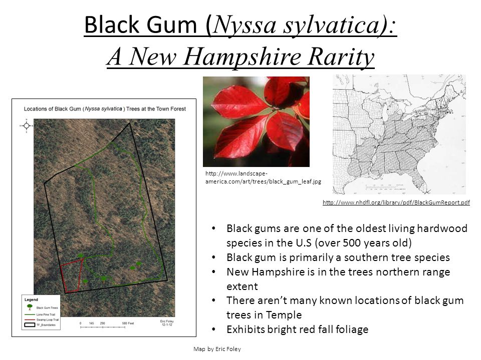 Black Gum ( Nyssa sylvatica): A New Hampshire Rarity Map by Eric Foley Black gums are one of the oldest living hardwood species in the U.S (over 500 y