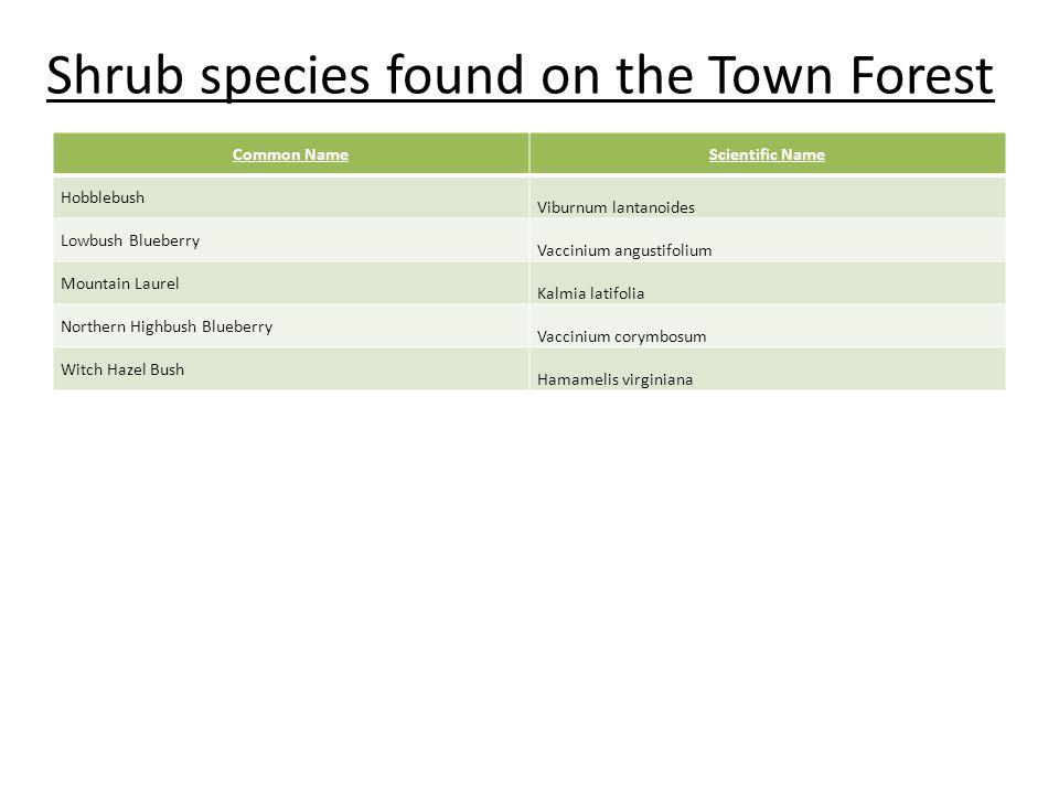 Shrub species found on the Town Forest Common NameScientific Name Hobblebush Viburnum lantanoides Lowbush Blueberry Vaccinium angustifolium Mountain L