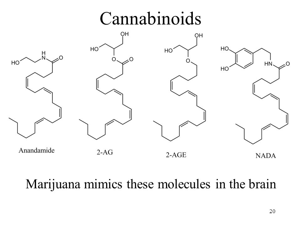 Cannabinoids Marijuana mimics these molecules in the brain 20