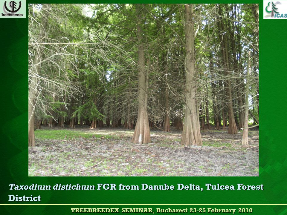 TREEBREEDEX SEMINAR, Bucharest 23-25 February 2010 TREEBREEDEX SEMINAR, Bucharest 23-25 February 2010 Taxodium distichum FGR from Danube Delta, Tulcea Forest District