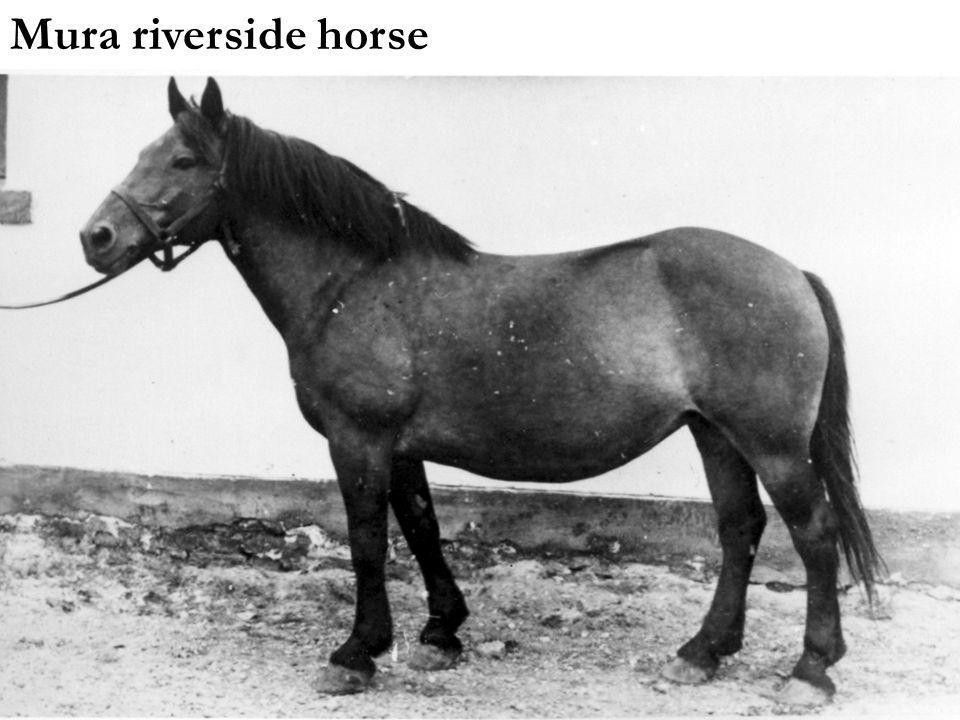 Mura riverside horse