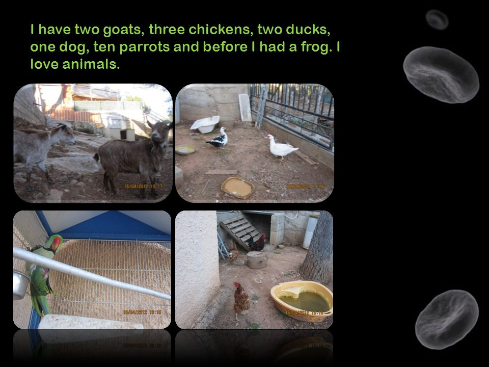 I have two goats, three chickens, two ducks, one dog, ten parrots and before I had a frog. I love animals.