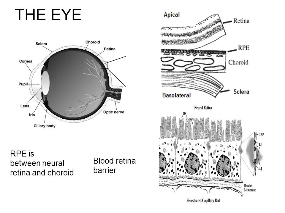 THE EYE RPE is between neural retina and choroid Blood retina barrier