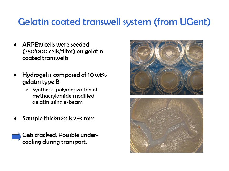 Gelatin coated transwell system (from UGent) ARPE19 cells were seeded (750'000 cells/filter) on gelatin coated transwells Hydrogel is composed of 10 wt% gelatin type B Synthesis: polymerization of methacrylamide modified gelatin using e-beam Sample thickness is 2-3 mm Gels cracked.