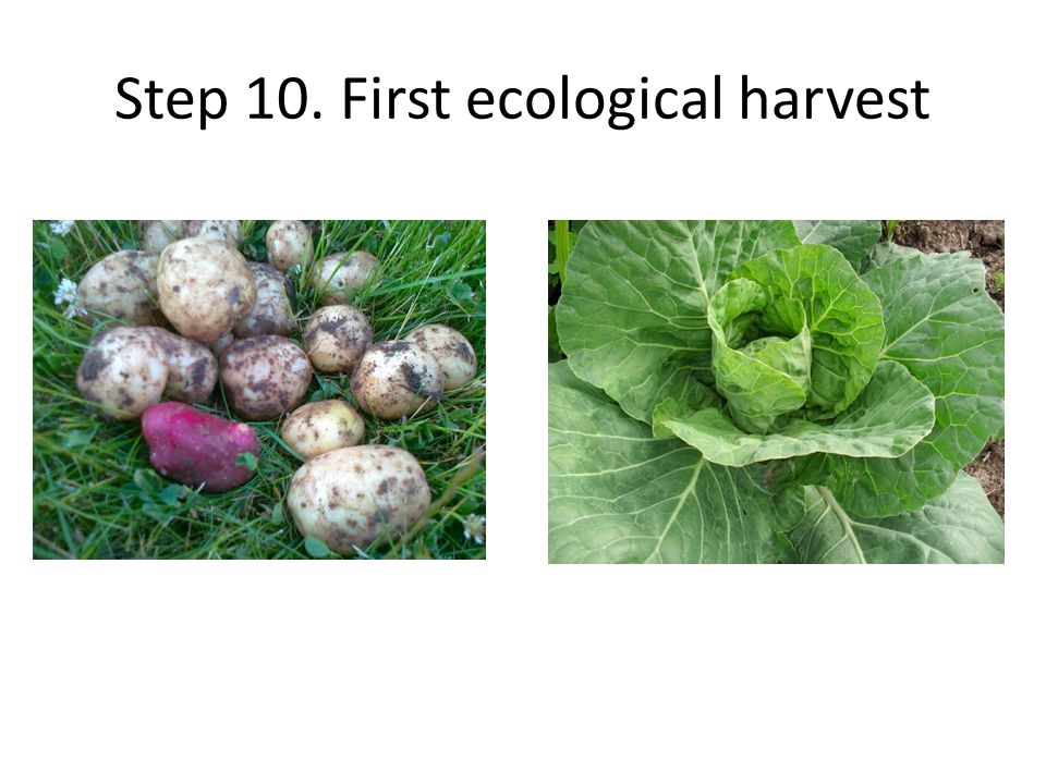 Step 10. First ecological harvest
