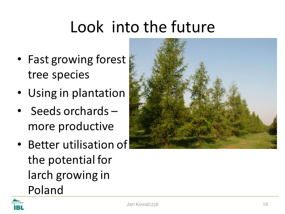 16 Look into the future Fast growing forest tree species Using in plantation Seeds orchards – more productive Better utilisation of the potential for larch growing in Poland Jan Kowalczyk