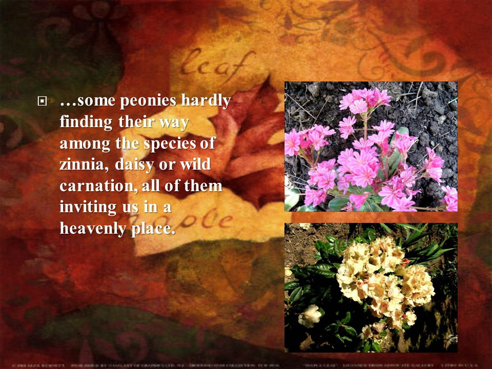  …some  …some peonies hardly finding their way among the species of zinnia, daisy or wild carnation, all of them inviting us in a heavenly place.